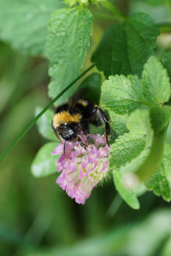 Macro hanging yellow-black Caucasian bumblebee Bombus lucorum on stock photography