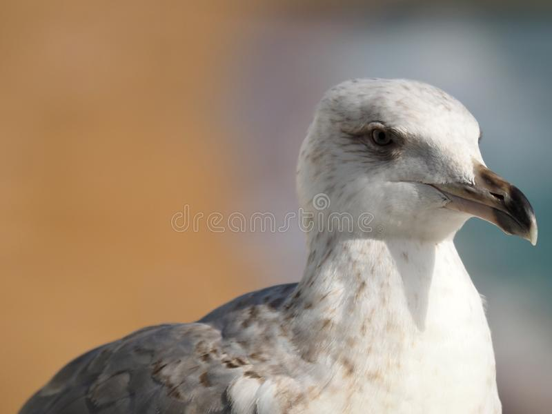 Macro of the head of a seagull royalty free stock photography