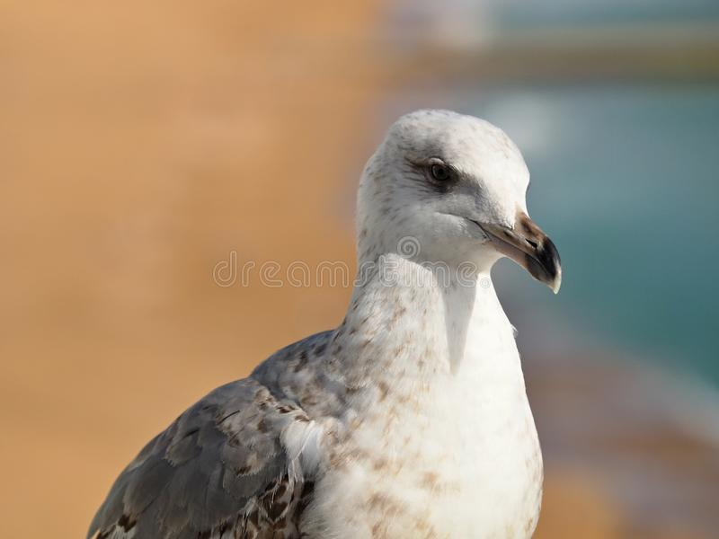 Macro of the head of a seagull royalty free stock images