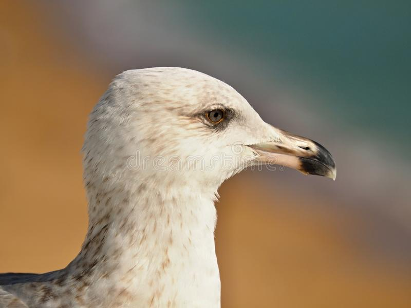 Macro of the head of a seagull stock images