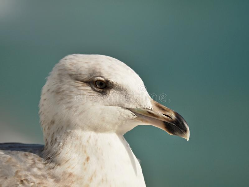 Macro of the head of a seagull royalty free stock photos