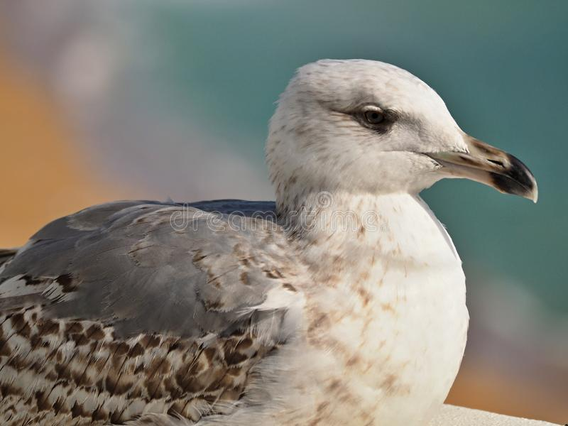 Macro of the head of a seagull royalty free stock image