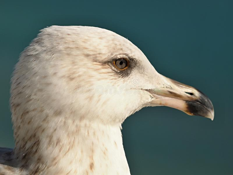 Macro of the head of a seagull stock photography