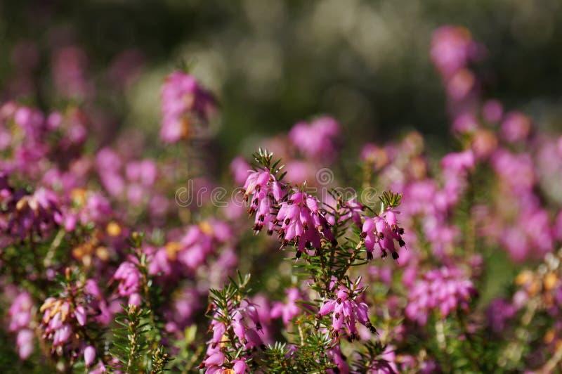 Macro of heather in full bloom. stock photos