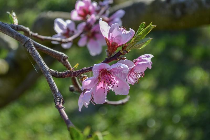 Macro hermosa del flor de la flor del melocotón fotos de archivo