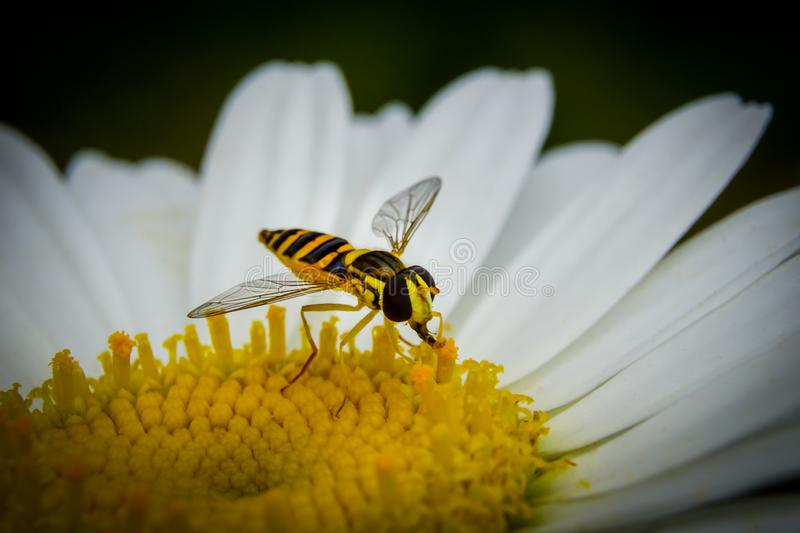 Macro Honey bee collecting pollen from daisy flower. Carrying ball of pollen on leg. Beauty in nature. stock photos