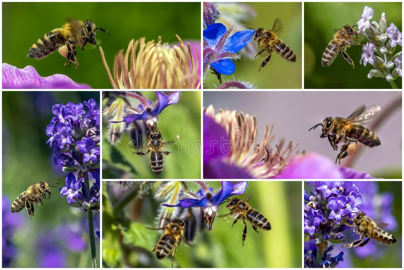 Macro of honey bee collecting pollen on a flower  - collage set. Close up royalty free stock image