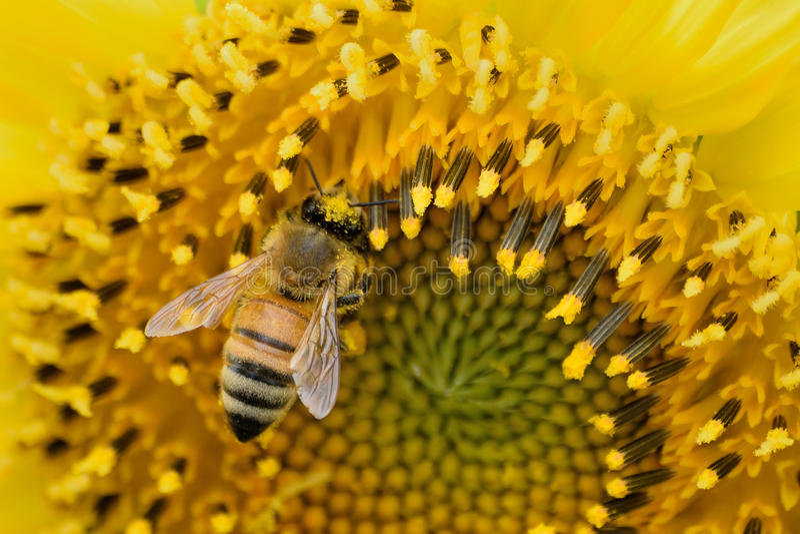 Macro Honeybee collecting pollen from Sunflower stock photos