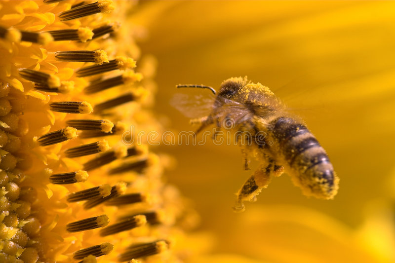 Macro of a honeybee in a sunflower. The bee is full of pollen from the flower royalty free stock photography