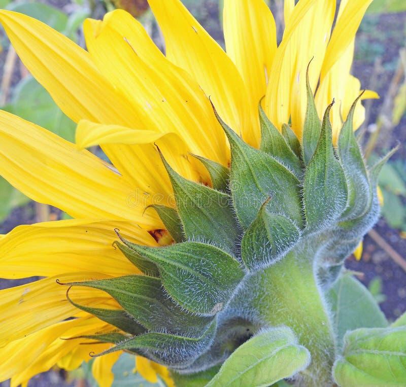 Macro hoofd de zomerbloem van het zonnebloemzaad royalty-vrije stock afbeeldingen