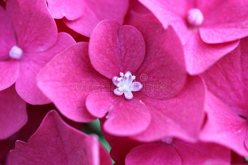 Macro of Hortensia. Pink single Hortensia flower (Hydrangea), macro royalty free stock images