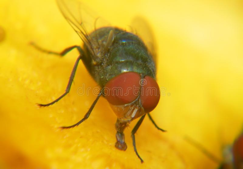 Macro of  a house fly. Macro of a house fly which is on a mango stock photos