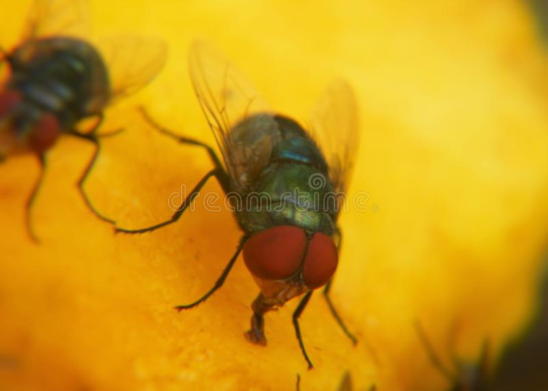 Macro of  a house fly. Macro of a house fly which is on a mango stock photography
