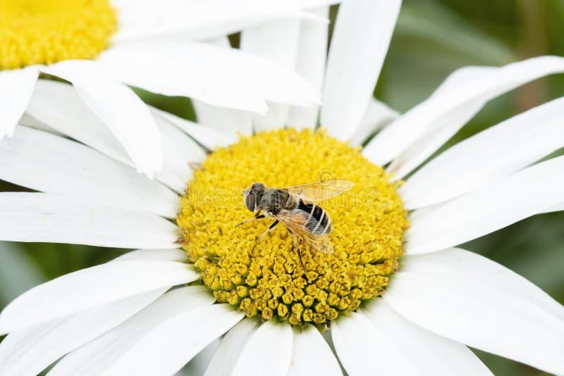 Macro of a Hoverfly Eristalis interrupta on a White Daisy stock photography