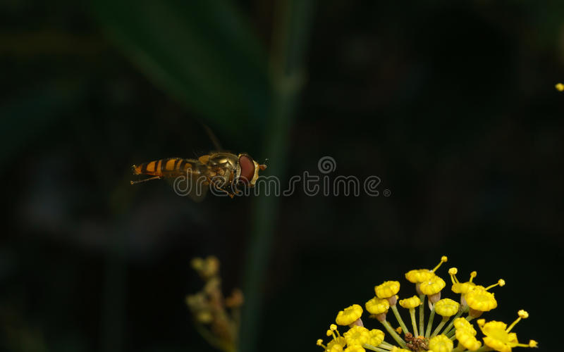 A macro of a Hoverfly hovering near a yellow flower. A macro of a small Hoverfly hovering near a yellow flower stock photography