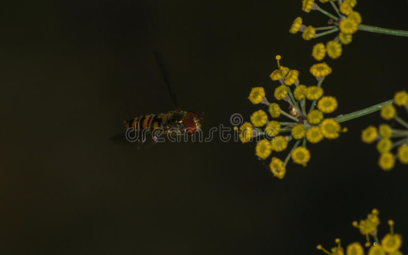 A macro of a Hoverfly hovering near a yellow flower. A macro of a small Hoverfly hovering near a yellow flower stock images