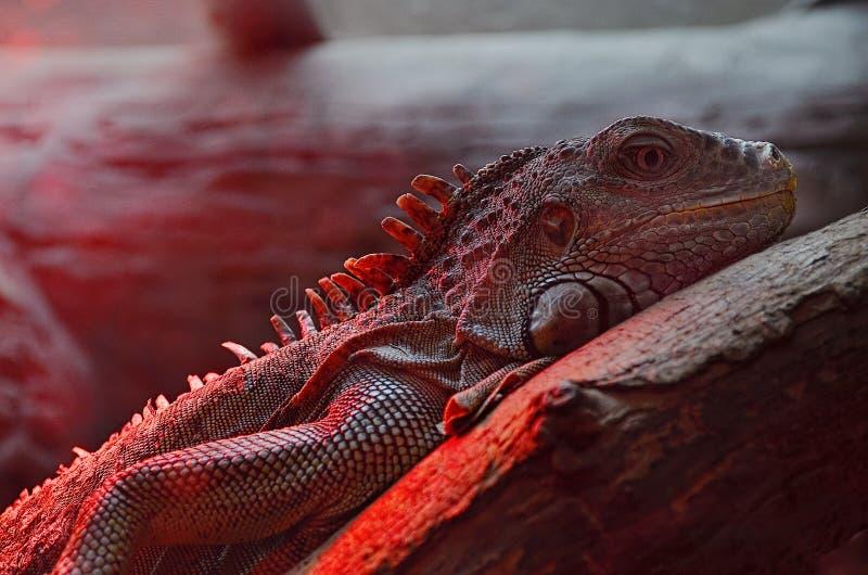 Macro of iguana lizard. Macro of big iguana lizard royalty free stock image