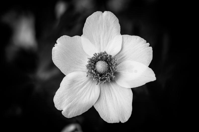 Dramatic black and white flower closeup on black natural background stock images