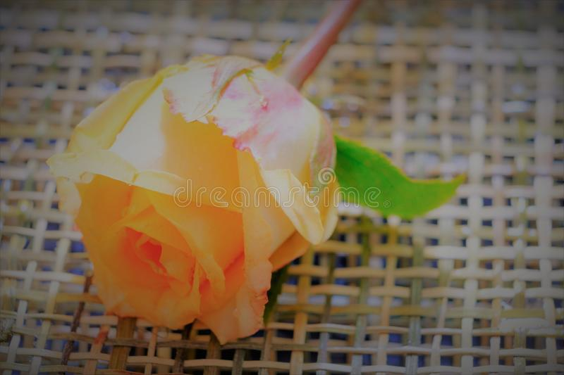Macro image of beautiful fresh yellow rose with water drops on w royalty free stock photography