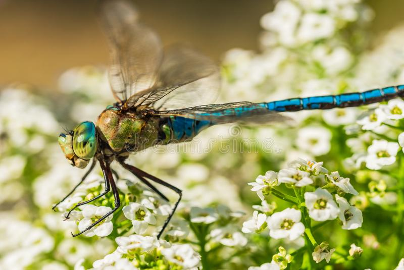 Beautiful blue dragonfly on white flowers stock photos