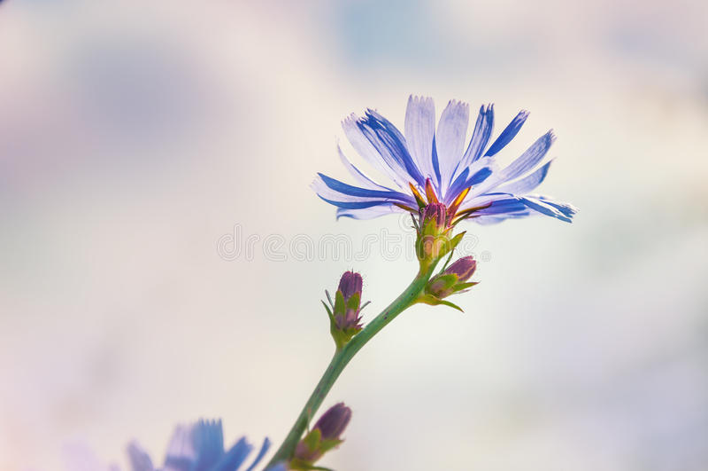 Macro image of chicory flower stock photo