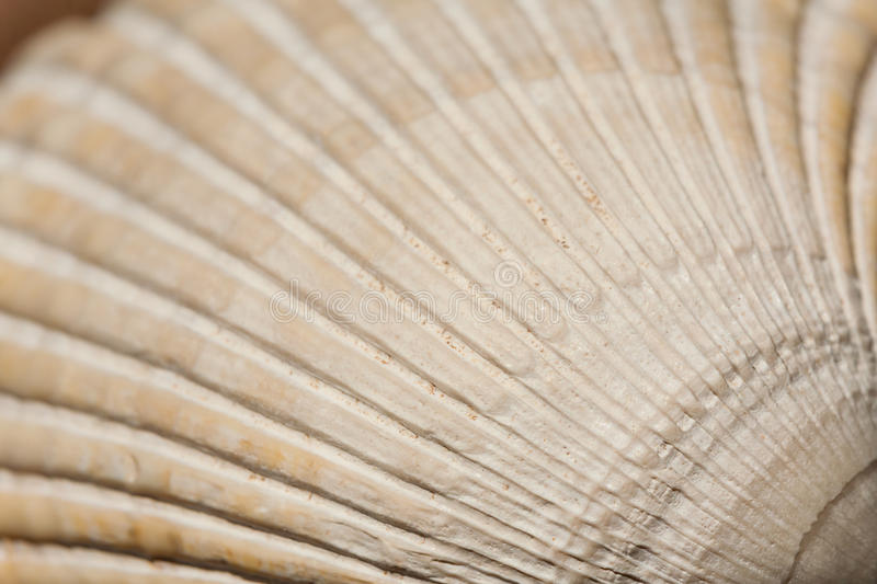 Cockle Shell Texture and Pattern stock photos