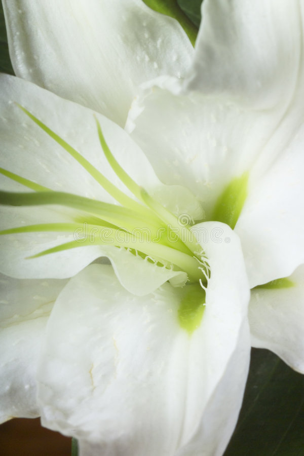 Macro image d'a lilly photographie stock