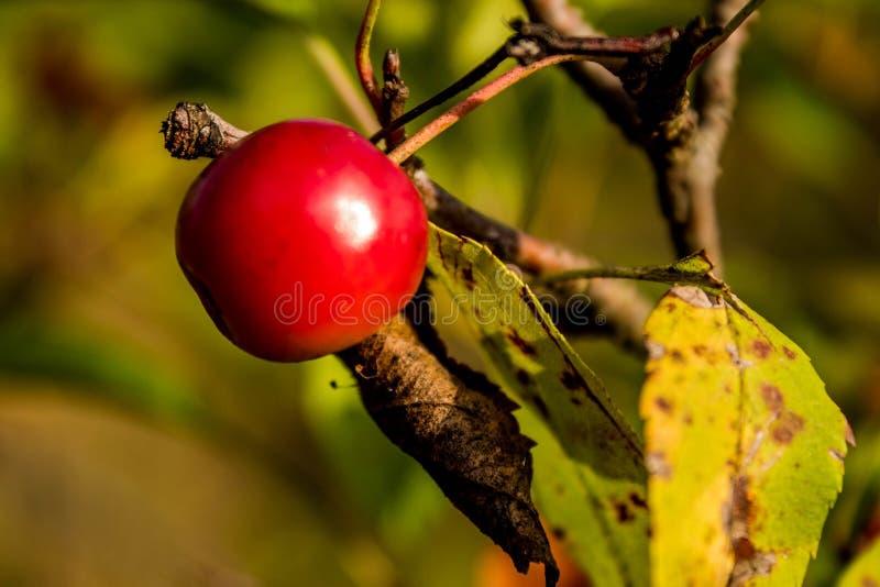 Macro image de baie rouge simple d'automne image stock