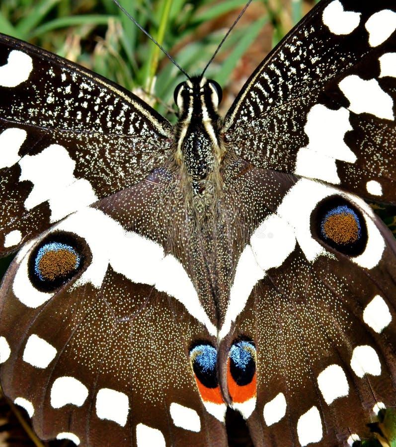 Grand papillon d'empereur photos libres de droits
