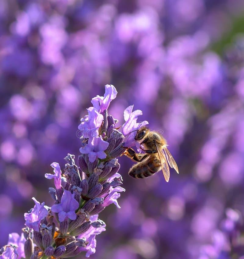 macro image de fleur de lavande et d 39 une abeille image. Black Bedroom Furniture Sets. Home Design Ideas