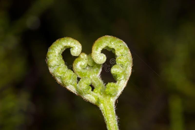 Macro image de fougère en forme de coeur, sao Miguel, Açores, sao Miguel, Açores photo libre de droits