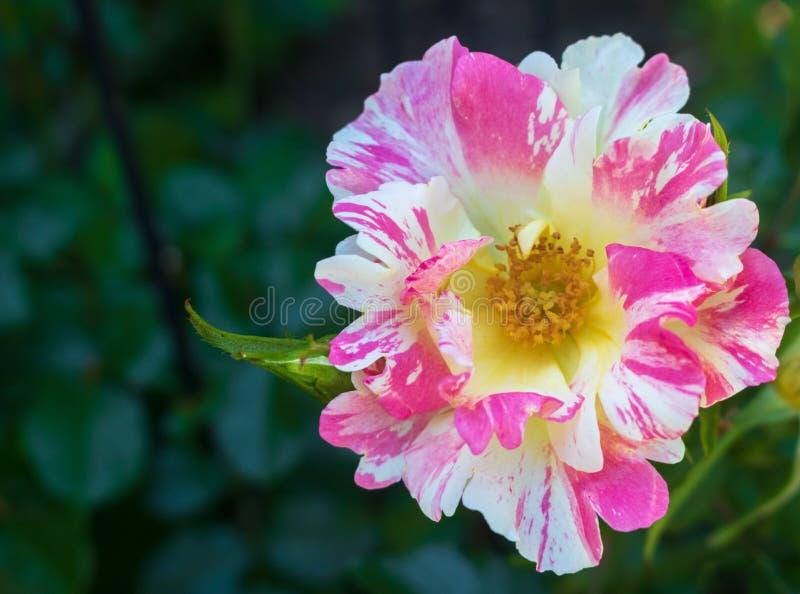 """Macro image de la rose multicolore """"spiritueux de montée """" photos libres de droits"""