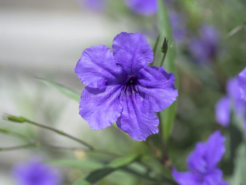 Macro image des fleurs violettes de ressort et pourpres lilas, fond floral mou abstrait photographie stock