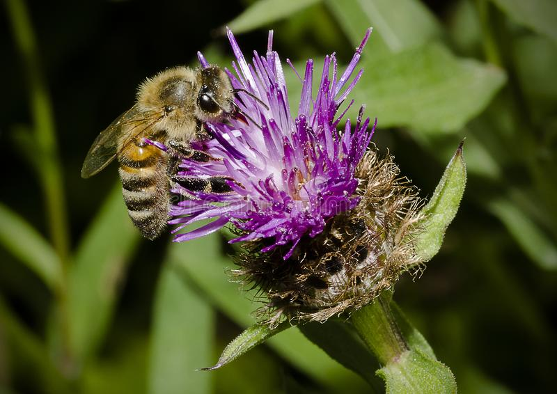 Honey Bee on knapweed Thistle flower royalty free stock photo