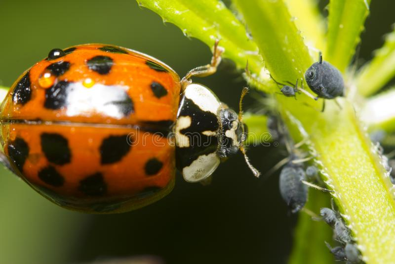 Ladybug and aphid stock photography