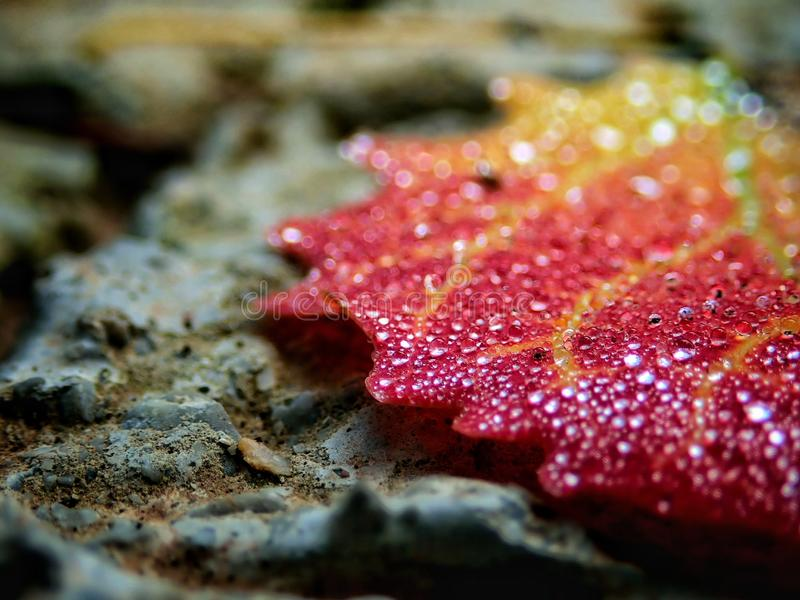 Macro image of micro drops on autumn colorful leaf royalty free stock images