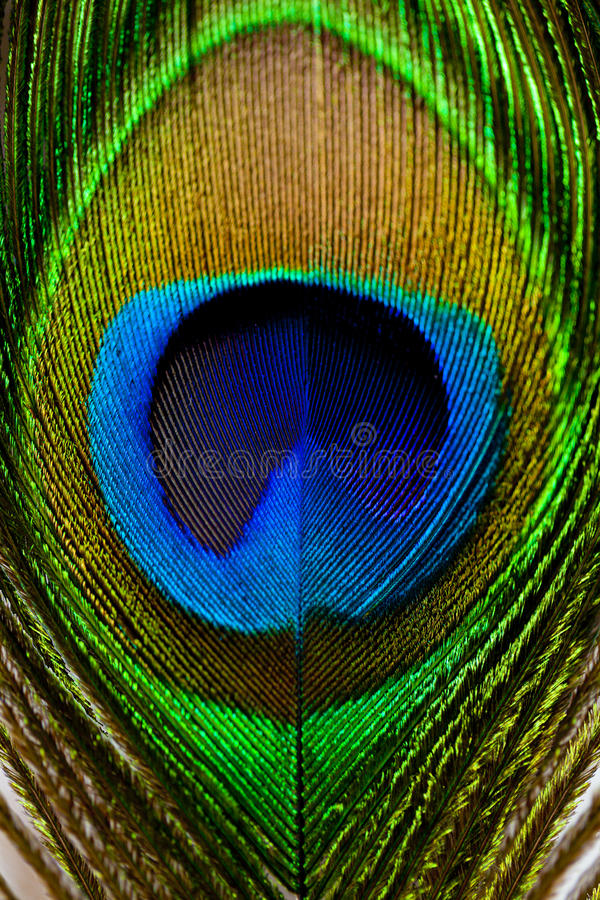 Macro image of peacock feather/Peacock Feather.  stock images