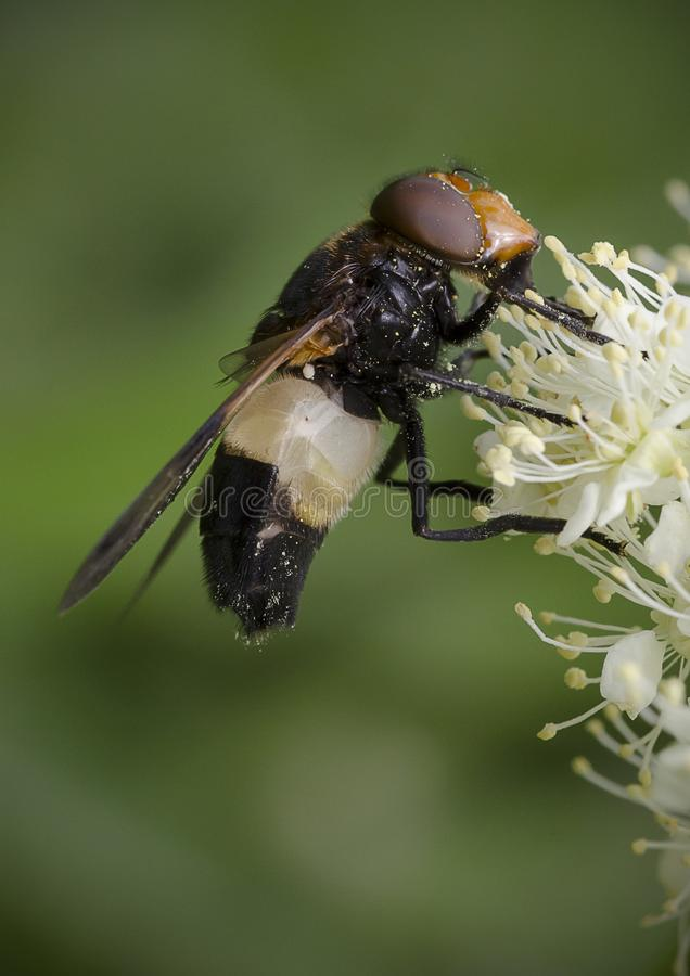 Pellucid Hoverfly feeding on white flower royalty free stock images