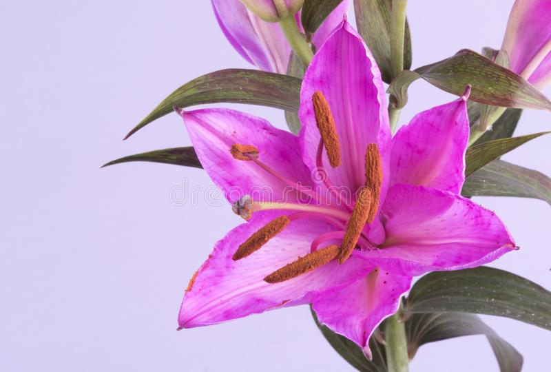 Macro image of a pink tiger lily. On a lilac background royalty free stock images