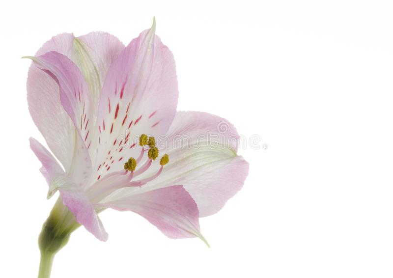 Pink and white alstroemeria flower on white background stock image download pink and white alstroemeria flower on white background stock image image of petals mightylinksfo