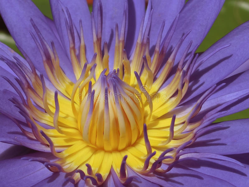 Macro Image of a Purple Water Lily. Singapore - August 2016 A macro image of a purple water lily with its many petals and yellow centre royalty free stock images