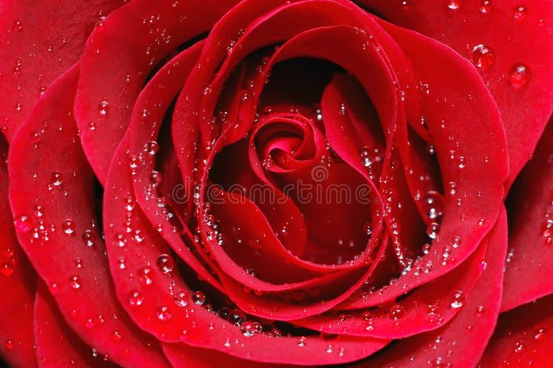 Macro Image Of Red Rose Stock Photo