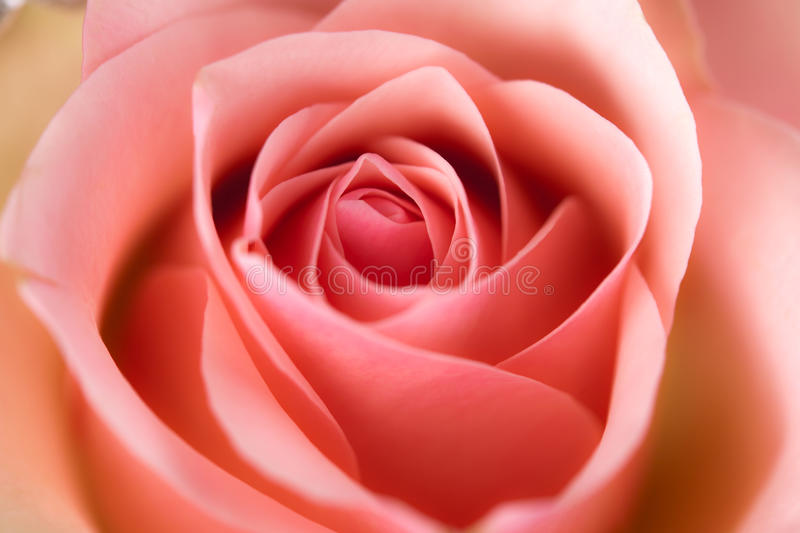 Download Macro Image Of Rose Royalty Free Stock Photography - Image: 28358837