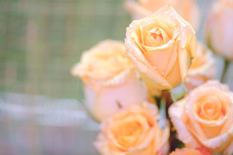 Macro image and selective focus of beautiful fresh yellow rose w royalty free stock image