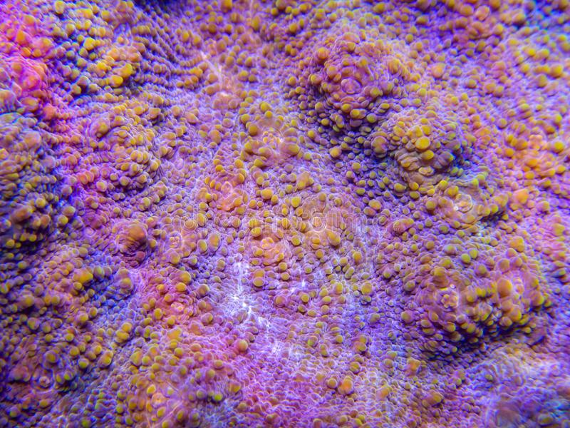 Chalice coral macro texture. Macro image showing the texture of a chalice coral growing underwater in a captive reef aquarium system royalty free stock photo