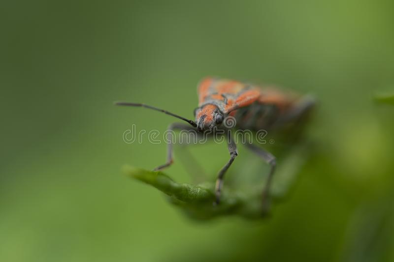 Macro image of Spilostethus -A member of Seed Bugs Family Lygaeidae. Spilostethus- A member of Seed Bugs Family Lygaeidae stock image