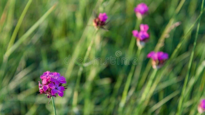 Macro image of spring violet flower close up stock image
