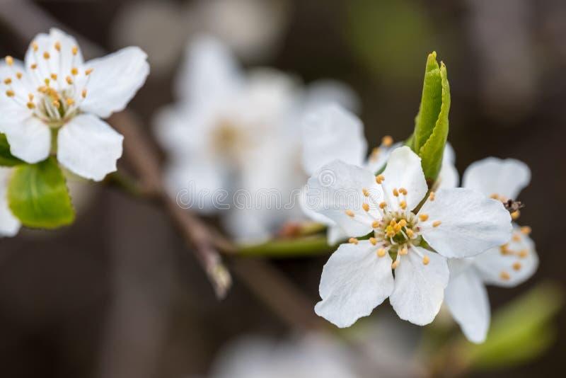 Macro image of springtime crab apple blossom. royalty free stock photo