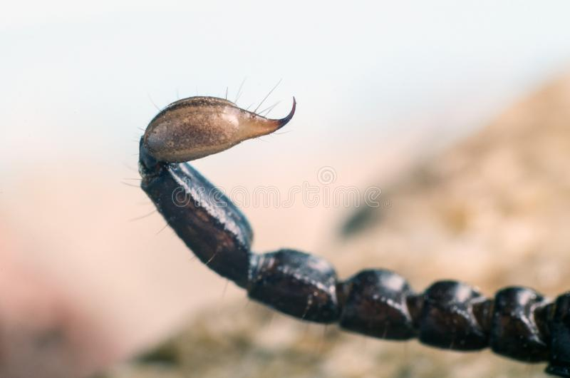 Macro image of the stinger of a scorpion stock photos