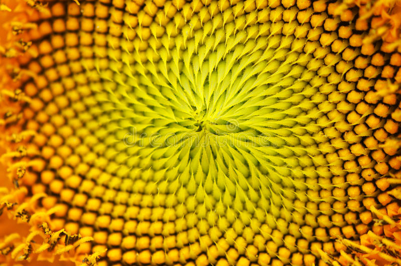 Macro image of a sunflower center royalty free stock photos